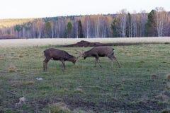 Two deer Bucks Fighting in a Field Stock Photo