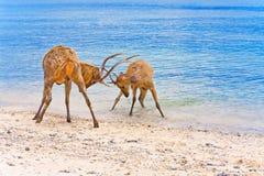 Two deer butt horns at ocean Stock Photography