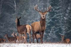 Two Deer Cervus Elaphus Against The Background Of The Winter Forest And The Silhouettes Of The Herd: Stag With Beautiful Horn. S Looks Directly At You, Female stock images