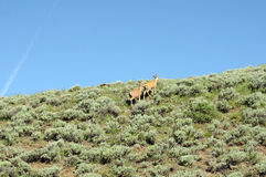 Two deer climbing. Deer on top of green hill against blue sky royalty free stock image