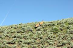 Two deer climbing Royalty Free Stock Image