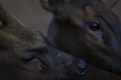 Two deer closeup photo. Deer head close-up. Reindeer family in the zoo. Philippines deer. Wild animal of tropical nature. Warm climate fauna. Animalistic photo Stock Image