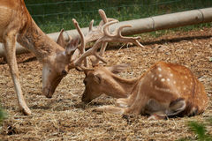 Two deer collide Stock Photography