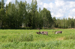 Two deer. Eat the grass on the edge of the forest Royalty Free Stock Photos