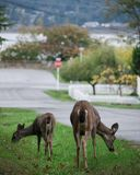 Two Deer Exploring a Suburban Town stock images