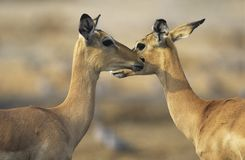 Two Deer face to face outdoors Stock Photo