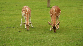 Two Deer feeding on grass. Close up of Two Young Deer feeding on grass Royalty Free Stock Photography