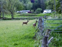 Two deer in field by fence Royalty Free Stock Photography