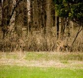 Wildlife In Harrington Beach State Park in Belgium Wisconsin. Two Deer Foraging through Harrington Beach State Park in Belgium Wisconsin royalty free stock photography