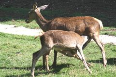 Two deer grazing. Royalty Free Stock Photos
