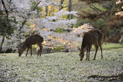 Two deer grazing amongst fallen cherry blossoms. Two deer graze on a meadow with fallen cherry tree blossoms, Nara, Japan. They are considered sacred Stock Photography