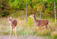 Two deer just emerging from the forest Stock Images