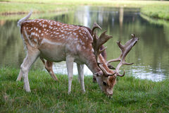 Two deer on lake bank Stock Photos