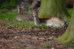 Two deer lying on forest ground stock photos
