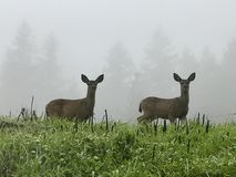 Two deer in the mist Stock Photo