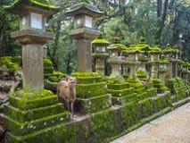 Two deer among mossy stone lanterns stock image