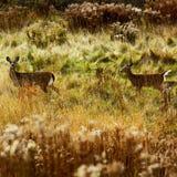 Two Deer Natural Habitat Stock Photos