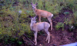 Two Deer near grass Royalty Free Stock Image