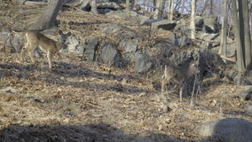 Two deer nervously looking around. Scene of two deer nervously looking around stock footage