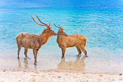 Two deer in ocean Stock Photos