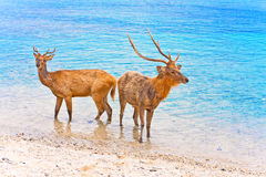 Two deer in ocean Stock Images