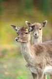 Two deer portrait. Two deer close up portrait Stock Photo