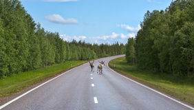 Two deer run on the road Royalty Free Stock Photos