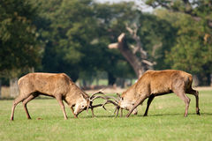 Two deer stags fighting with antlers. Two deer stags using their antlers to fight each other, taken during the rutting season in autumn royalty free stock image