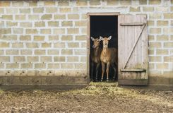 Two deer stand in the house. Royalty Free Stock Photo