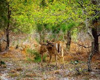 Two deer standing in forest Royalty Free Stock Images