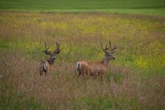 Two deer stood in countryside field Royalty Free Stock Photo