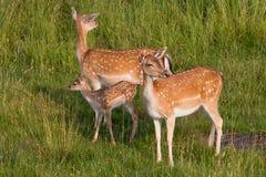 Two deer with vigilant. Two deer with vigilant risk offspring Stock Photo