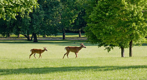 Two Deer Walking. In a Field Stock Images