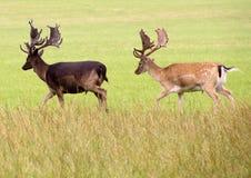 Two deer walking through grass land. Two deer. one dark, one light, both having antlers, walking through grass land Stock Images