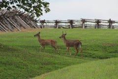 Two deer walking in the woods Stock Photo