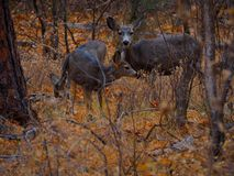 Two Deer in a Winter Forest royalty free stock photo