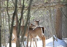 Two deers. Deers in forest during winter Stock Image