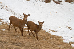 Two deers. Two young deers in a winter landscape. This photo was shooted on itlian alps Royalty Free Stock Image