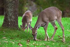 Two deers. Maryland royalty free stock images