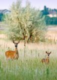 Two deers Stock Photos