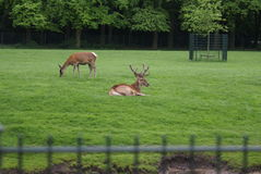 Two deers Almelo. Two deers in the grass, picture is taken in Almelo on 13-05-2014 Royalty Free Stock Images