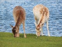 Two Deers Are Grazing In The Amsterdam Water Supply Dunes Near To Amsterdam And Zandvoort Stock Photography