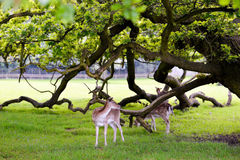 Two deers in beautiful forest background Stock Image