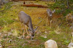 Two deers feeding in the forest Royalty Free Stock Image
