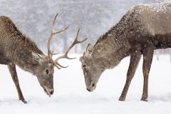 Two deers fighting in nater with forest in background in winter season and snowing.  royalty free stock image