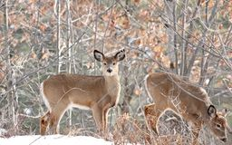 Two deers in forest Royalty Free Stock Image