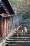 Two deers are going down a stone staircase (Japan) Stock Photography
