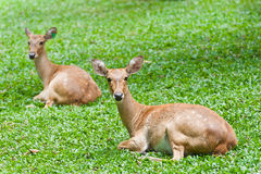 Two deers on green Stock Photos