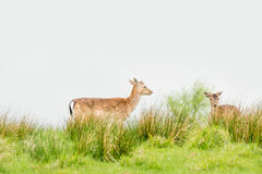 Two deers on a green field Stock Image