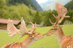 Two deers kissing in the mountains Royalty Free Stock Image